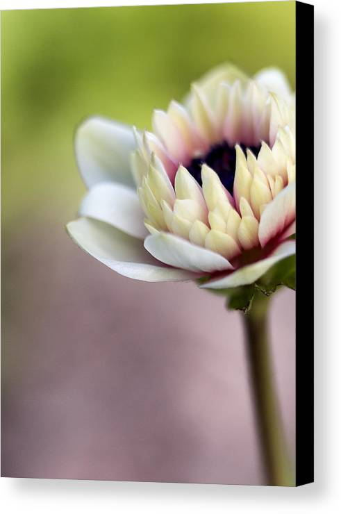 Anemone Canvas Print featuring the photograph Early Spring by Caitlyn Grasso