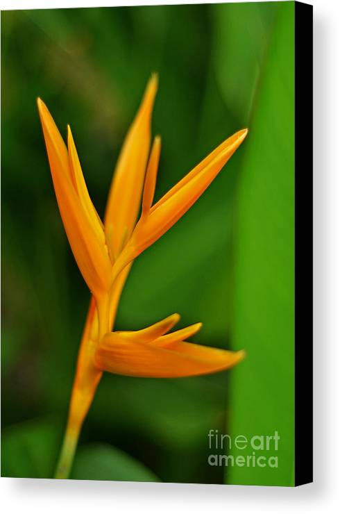 Heliconia Canvas Print featuring the photograph Heliconia Photo by Tran Minh Quan