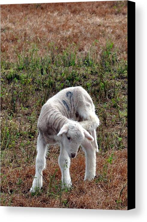 Lamb Canvas Print featuring the photograph Itch And Scratch by Kim Clark