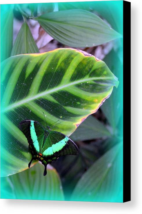 Butterfly Canvas Print featuring the photograph Jade Butterfly With Vignette by Carla Parris