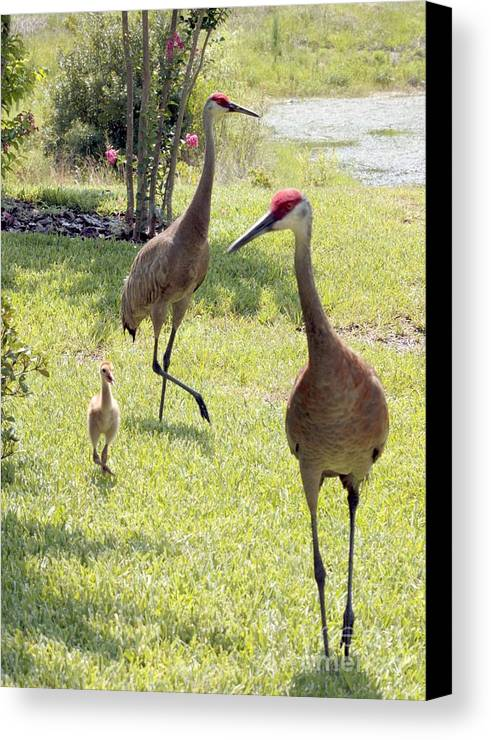 Sandhill Crane Canvas Print featuring the photograph Looking For A Handout by Carol Groenen
