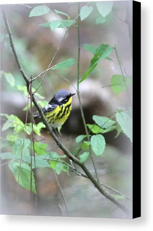 Magnolia Warbler Canvas Print featuring the photograph Magnolia Warbler - Bird by Travis Truelove