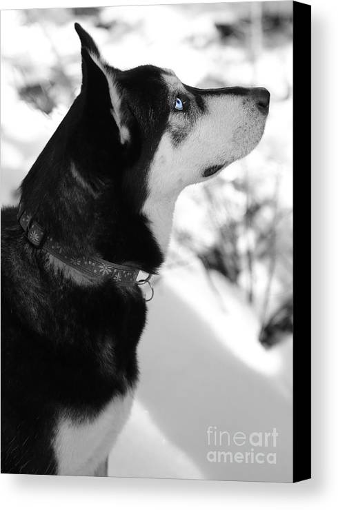 Dog Canvas Print featuring the photograph Old Blue Eye by Carol Groenen