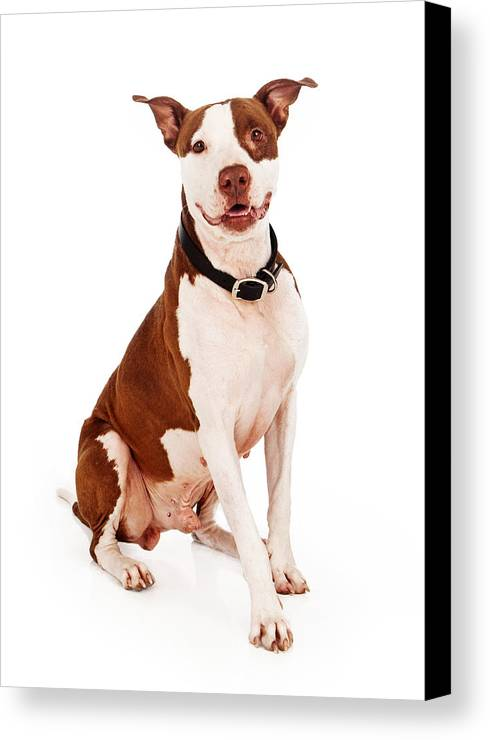 Animal Canvas Print featuring the photograph Pit Bull Dog With Happy Expression by Susan Schmitz
