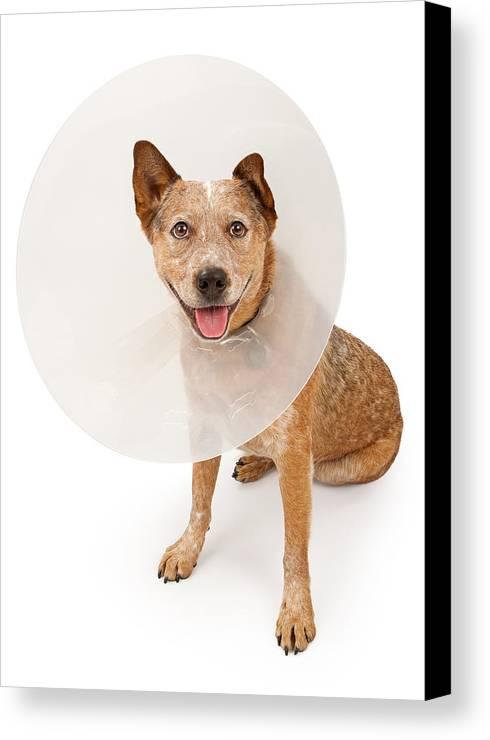 Dog Canvas Print featuring the photograph Queensland Heeler Dog Wearing A Cone by Susan Schmitz