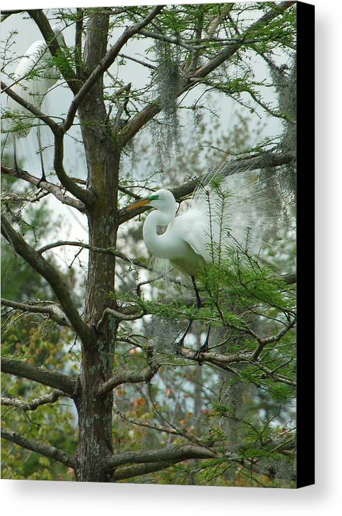 Egret Canvas Print featuring the photograph The Mating Dance by Suzanne Gaff