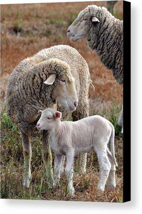 Lamb Canvas Print featuring the photograph Watching Over by Kim Clark
