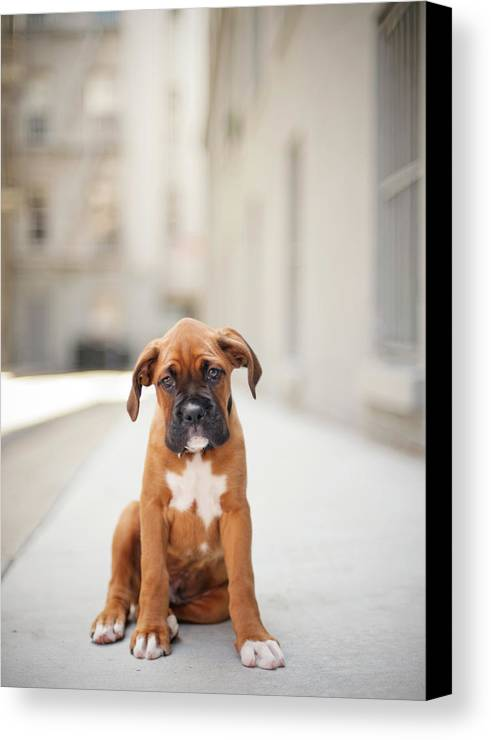 Vertical Canvas Print featuring the photograph 2 Month Old Boxer Puppy Standing In Alley by Diyosa Carter