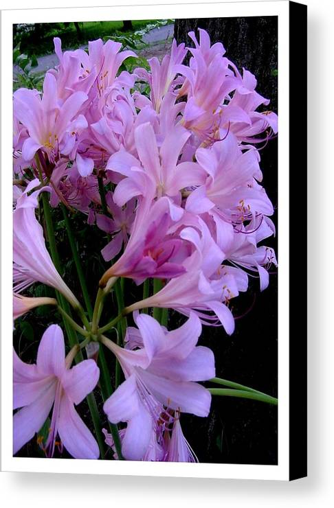 Pink Canvas Print featuring the photograph An Attractive Multitude by Frank Wickham