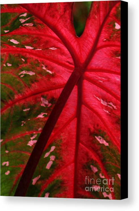 Leaf Canvas Print featuring the photograph Backlit Red Leaf by Sabrina L Ryan