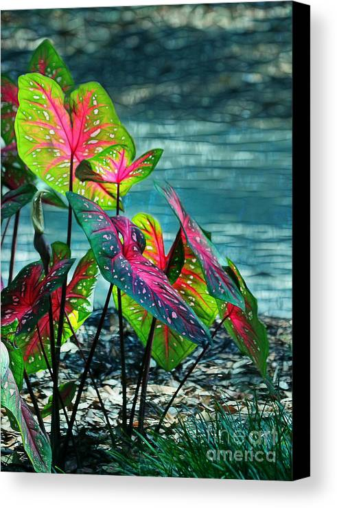 Calladiums Canvas Print featuring the photograph Calladiums by Judi Bagwell