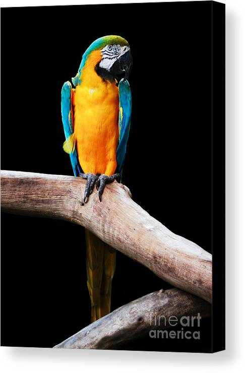 Singapore Canvas Print featuring the photograph Golden Macaw by Pete Reynolds