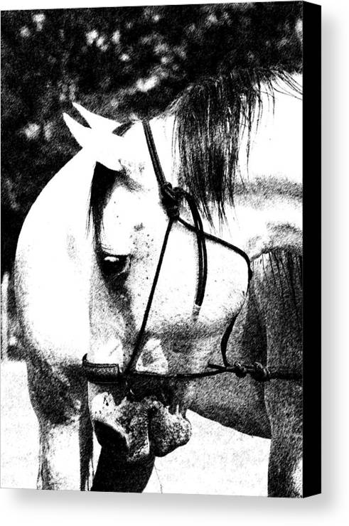Horse Canvas Print featuring the photograph Looking Right by Travis Truelove