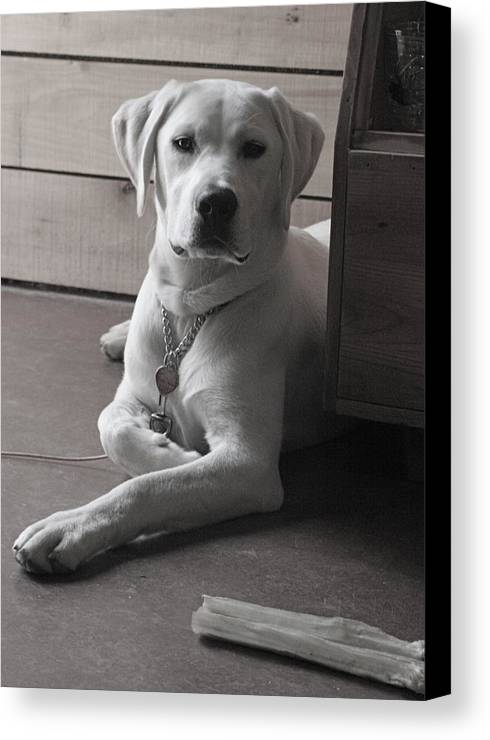 Lab Labrador Dog Puppy Retriever Canvas Print featuring the photograph Mosey by Crystal Rolfe