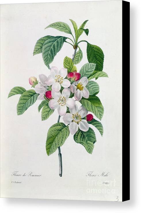 Apple Canvas Print featuring the painting Apple Blossom by Pierre Joseph Redoute
