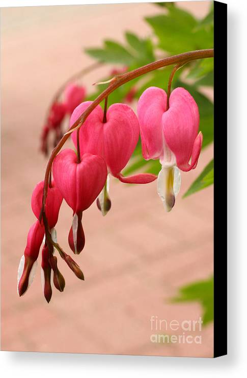 Flower Canvas Print featuring the photograph Bleeding Hearts In The Park by Steve Augustin