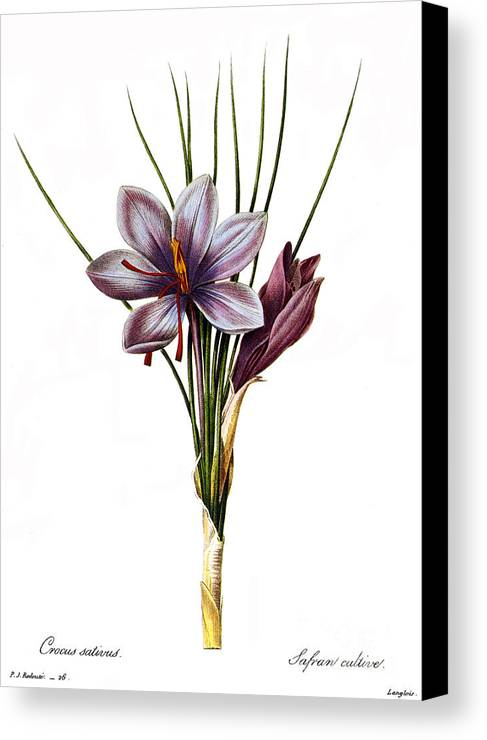 1833 Canvas Print featuring the photograph Botany: Saffron by Granger