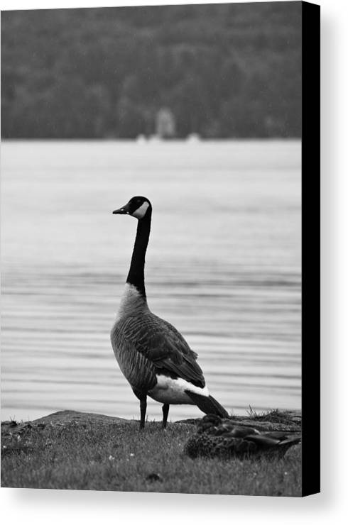 Goose Canvas Print featuring the photograph Goose In The Rain by Edward Myers