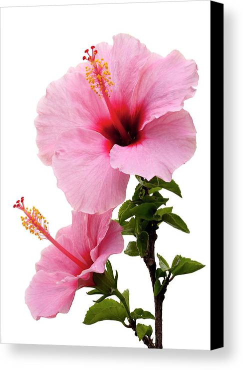 Hibiscus Canvas Print featuring the photograph Hibiscus 7 V2 by George Sanquist
