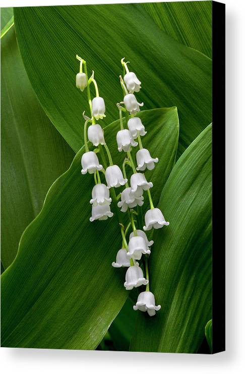 Lilies Of The Valley Canvas Print featuring the photograph Lilies Of The Valley by George Sanquist