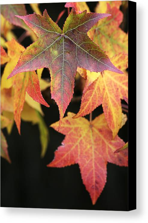 Maple Canvas Print featuring the photograph Maple Leaves by Neil Overy