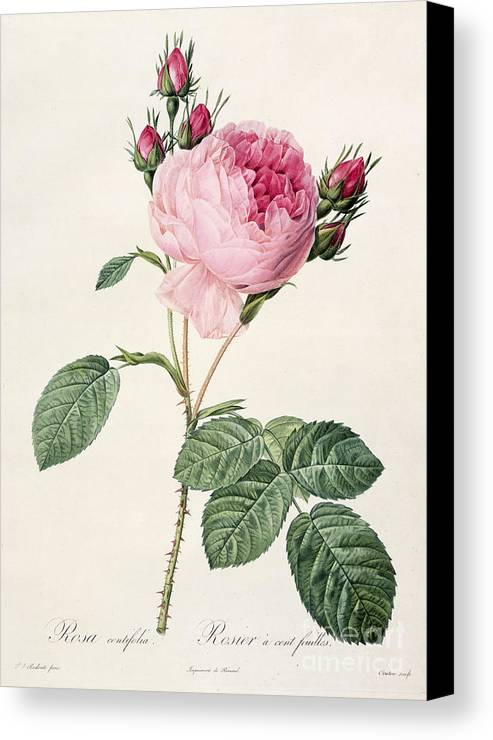 Rosa Canvas Print featuring the drawing Rosa Centifolia by Pierre Joseph Redoute