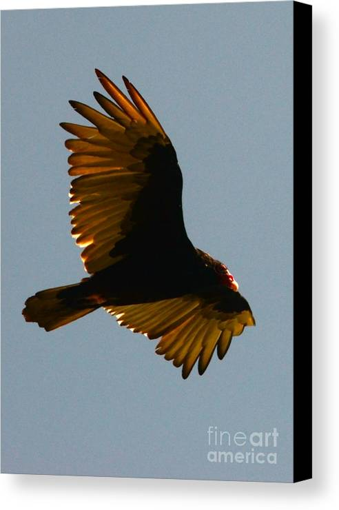 Hawk Canvas Print featuring the photograph Scout by Jesse Ciazza