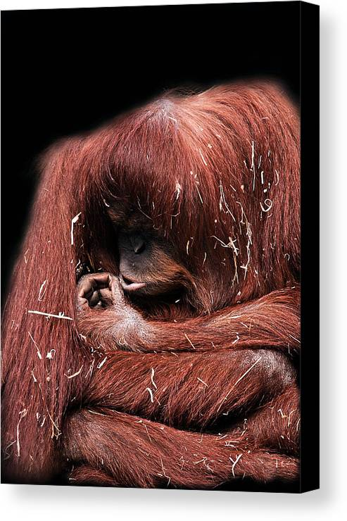 Orangutan Canvas Print featuring the photograph Scrutiny by Lesley Smitheringale