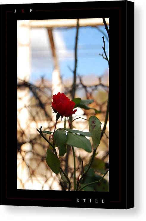 Rose Canvas Print featuring the photograph Still by Jonathan Ellis Keys