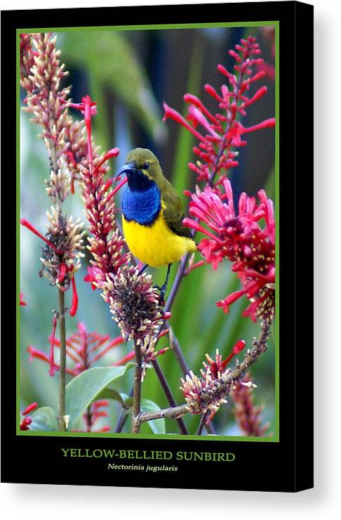 Animals Canvas Print featuring the photograph Sunbird by Holly Kempe