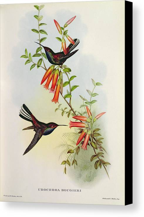 Urochroa Canvas Print featuring the painting Urochroa Bougieri by John Gould