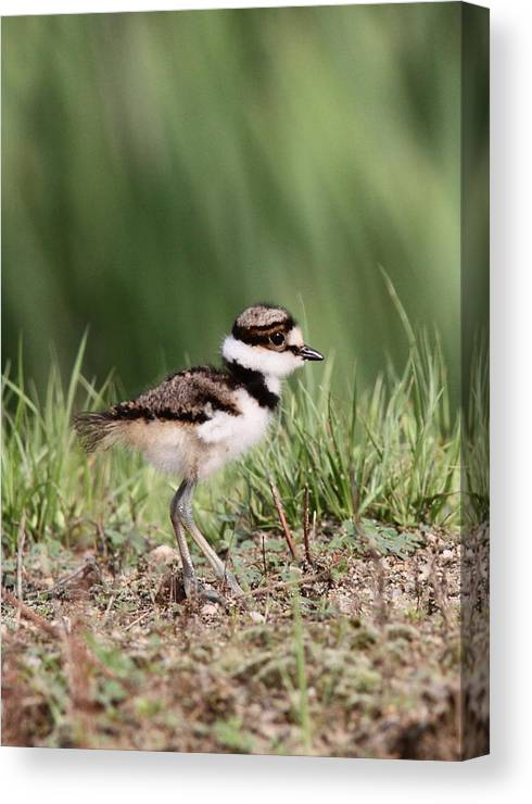 Killdeer Canvas Print featuring the photograph Baby - Bird - Killdeer by Travis Truelove