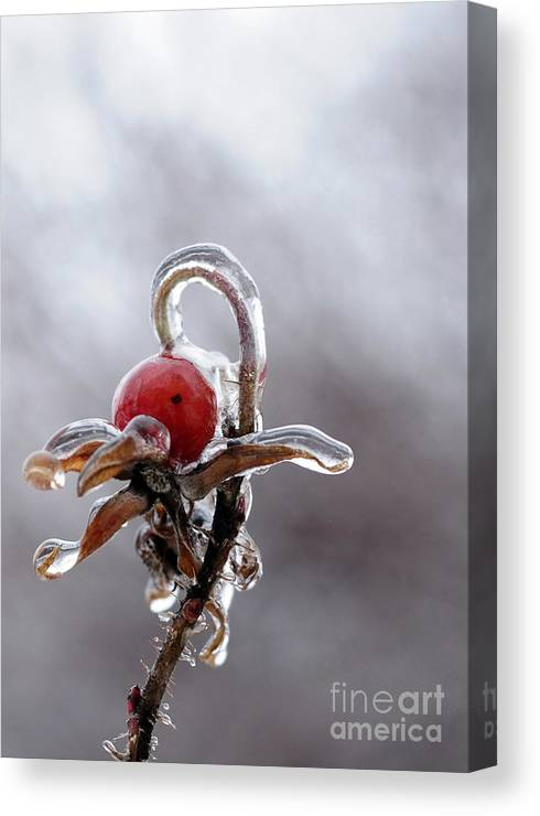 Ice Canvas Print featuring the photograph Iced Rose Hips by Terri Winkler