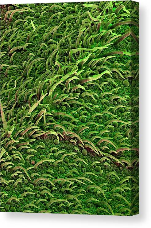 Salvia Officinalis Canvas Print featuring the photograph Sage Leaf by Stefan Diller/science Photo Library