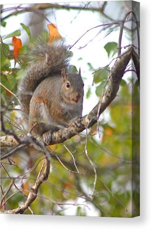 Squirrel Canvas Print featuring the photograph Squirrel On Branch by Jeanne Kay Juhos