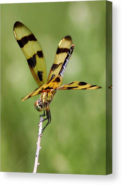 Dragonfly Canvas Print featuring the photograph Dragonfly by Travis Truelove
