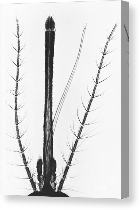 Mosquito Canvas Print featuring the photograph Female Mosquito Proboscis by Eric V. Grave