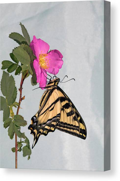 Western; Tiger; Swallowtail; Butterfly; Butterflies; Papilio; Rutulus; Wildflower; Nooka; Rose; Sitting; Feeding; Resting; Eating; Nectar; Sipping; Colorful; Insect; Bug; Fly; Flies; Flight; Flutter; Color Canvas Print featuring the photograph Western Tiger Swallowtail by Buddy Mays