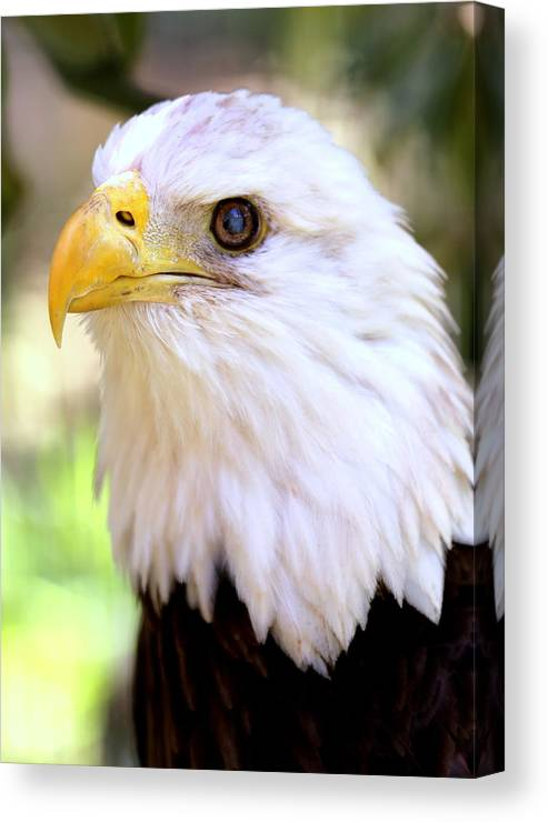 Bald Eagle Canvas Print featuring the photograph Bald Eagle 1 by Imagery-at- Work