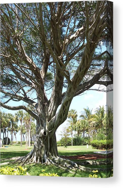 Florida Canvas Print featuring the photograph Banyan Tree by Anna Villarreal Garbis