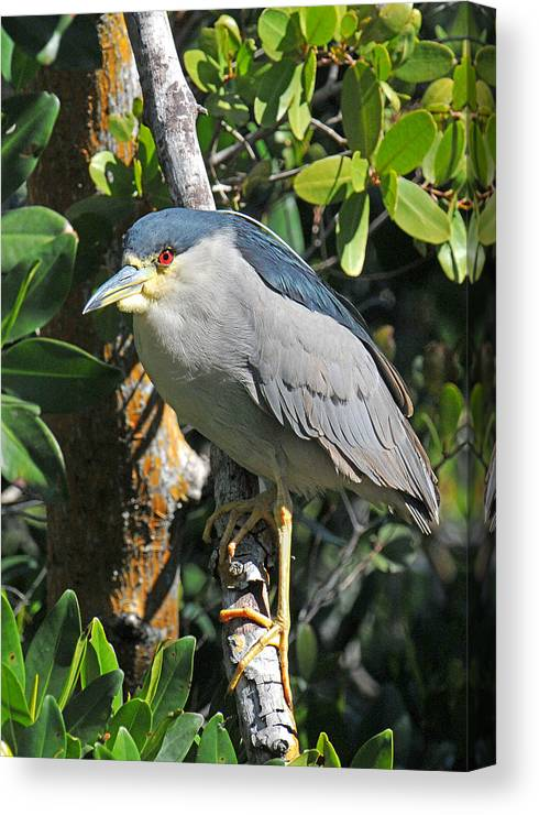 Heron Canvas Print featuring the photograph Black Crowned Night Heron by Alan Lenk