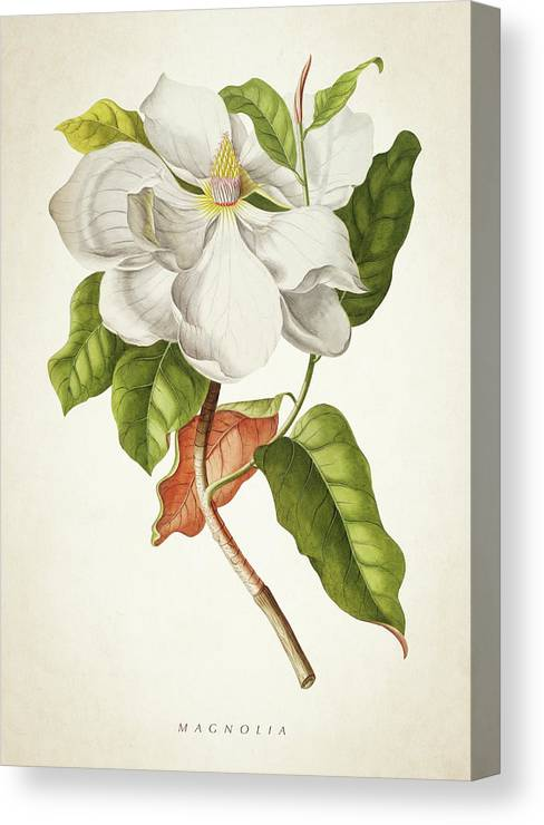Magnolia Canvas Print featuring the digital art Magnolia Botanical Print by Aged Pixel
