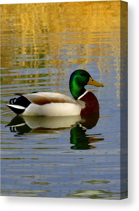 Canvas Print featuring the photograph Mallord Duck by Susie Fisher