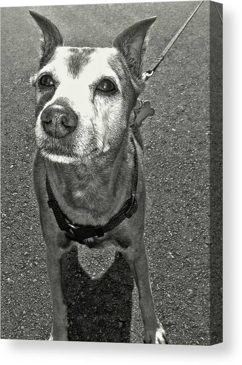 Dog Canvas Print featuring the photograph Old Timer by JAMART Photography