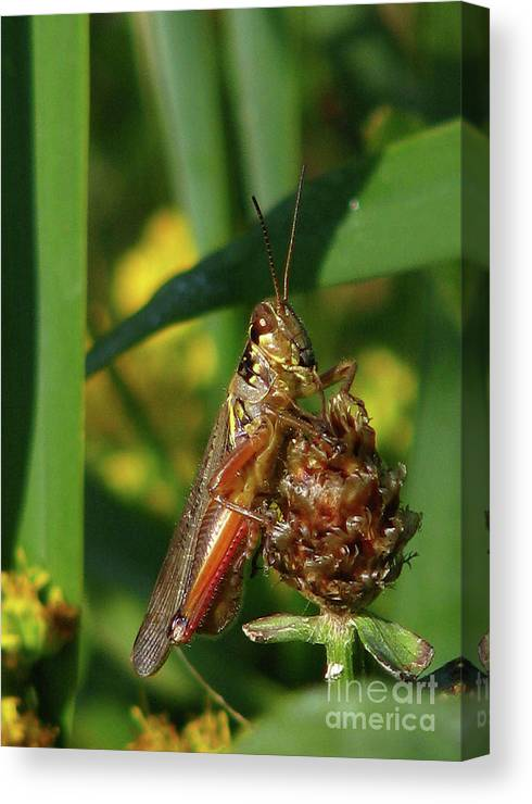 Deborah Johnson Canvas Print featuring the photograph Red-legged Locust by Deborah Johnson