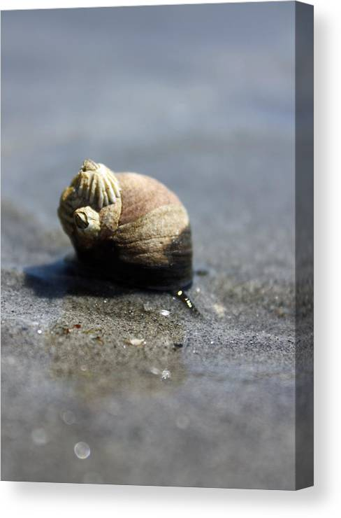 Snail Canvas Print featuring the photograph Slow Traveler by Becca Wilcox