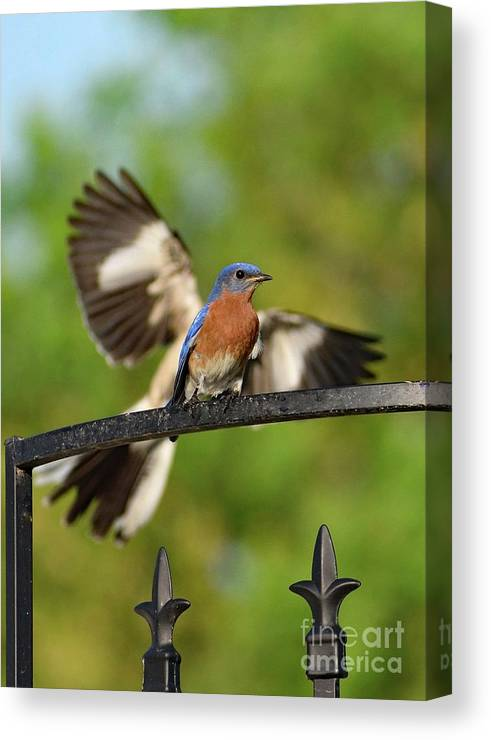 Eastern Bluebird Canvas Print featuring the photograph Mocking Bluebird Photo Bomb by Cindy Treger