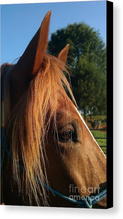 Horse Canvas Print featuring the photograph Curiosity by Darlene Rodgers