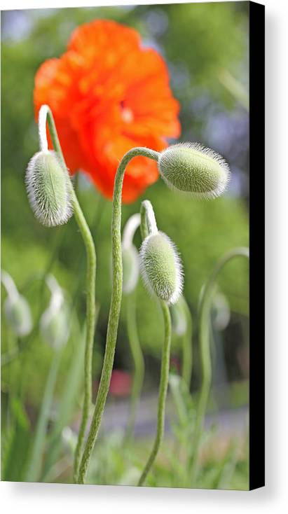 Poppy Canvas Print featuring the photograph Dancing Orange Poppy Flower Pods by Jennie Marie Schell