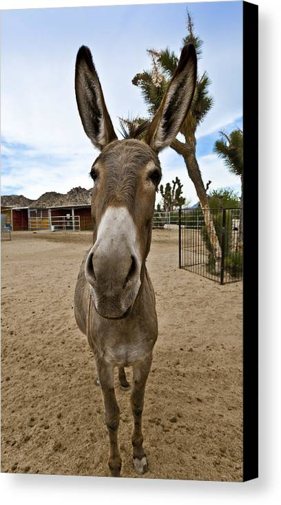 Donkey Canvas Print featuring the photograph Jack by Dennis Hofelich